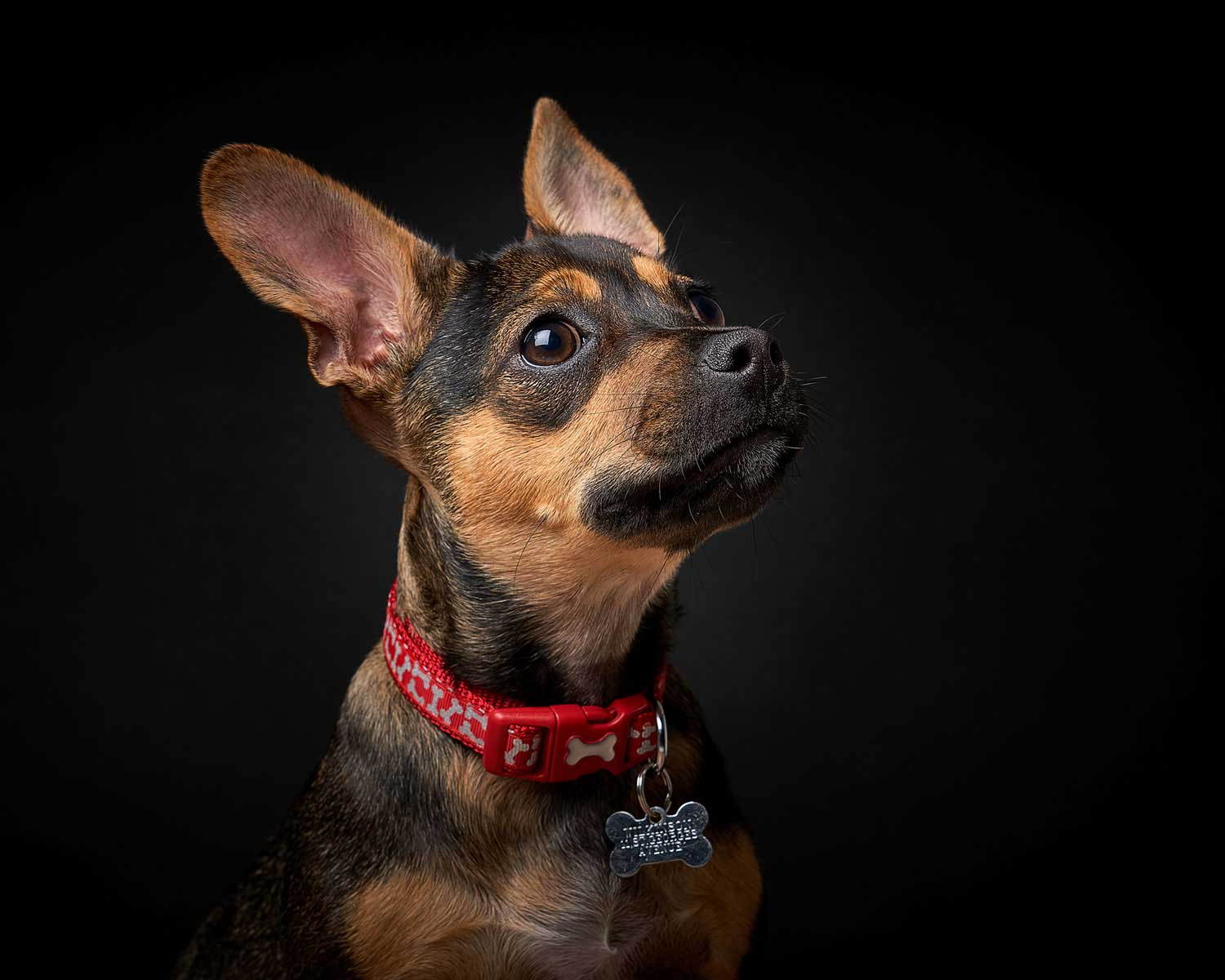 Dog Portrait Studio Photography 0007